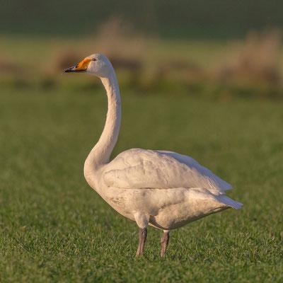 Singschwan  Cygnus cygnus, Whooper Swan - 13