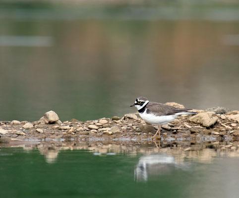 Flussregenpfeifer (Charadrius dubius) -cc-3