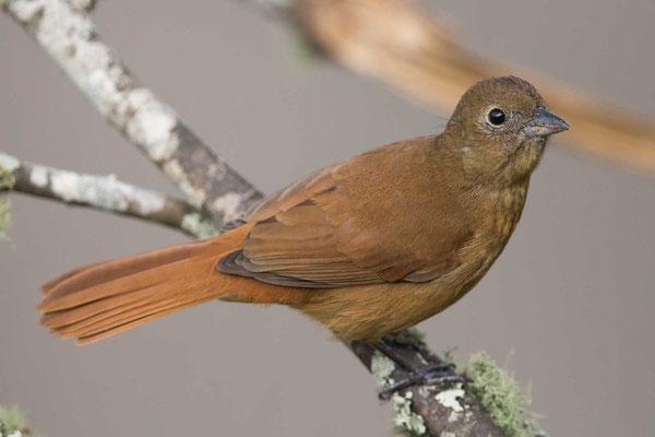 Krontangare (Tachyphonus coronatus) - Ruby-crowned Tanager - 3