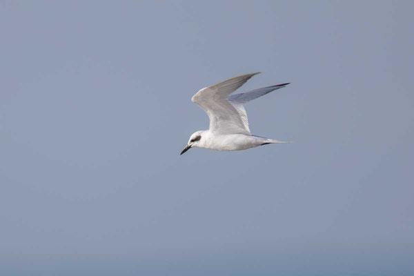 Lachseeschwalbe (Gelochelidon nilotica) - Gull-billed tern - 3