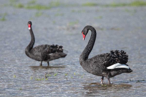 Trauerschwan (Cygnus atratus) - Black swan - 16