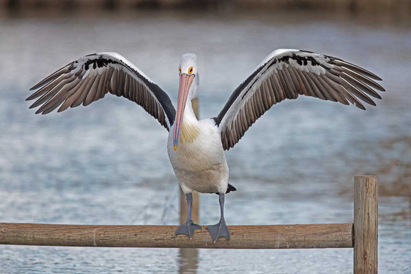 Brillenpelikan (Pelecanus conspicillatus) - Australian pelican - 4