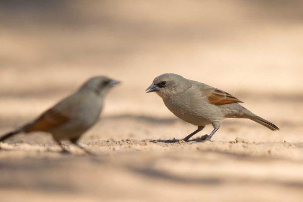 Graukuhstärling (Agelaioides badius) - Greyish Baywing - 4