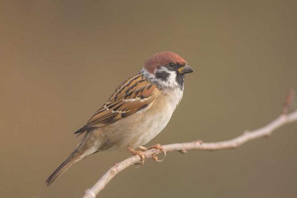 Feldsperling (Passer montanus) - Tree Sparrow - 1