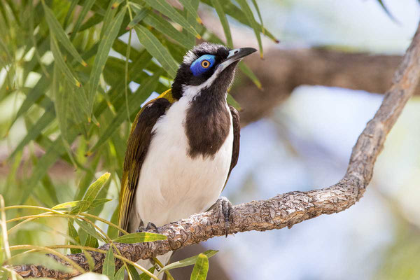 Blauohr-Honigfresser, Blue-faced Honeyeater, Entomyzon cyanotis - 3