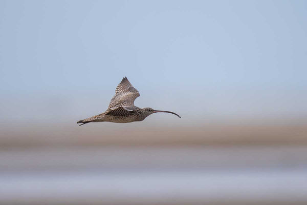 Isabellbrachvogel, Far Eastern curlew, Numenius madagascariensis - 1