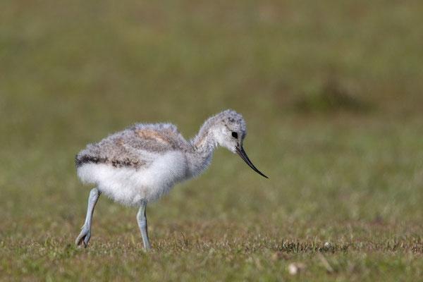Säbelschnäbler (Recurvirostra avosetta) - 11