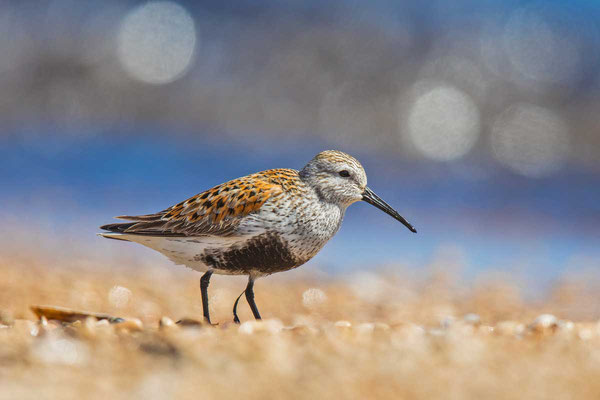 Alpenstrandläufer (Calidris alpina) im Prachtkleid am Strand von Lake Winnipeg in Manitoba/Kanada.