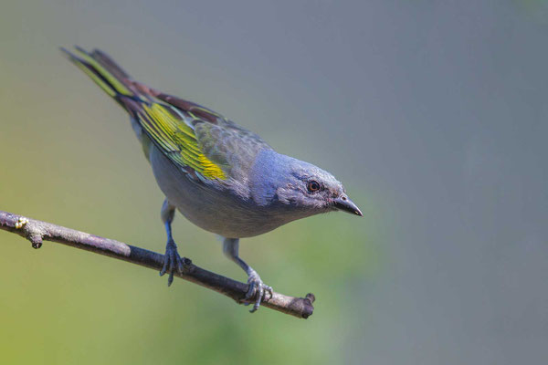 Schmucktangare (Thraupis ornata) - Golden-chevroned Tanager - 2