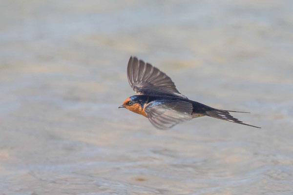Glücksschwalbe,  Hirundo neoxena, Welcome Swallow - 3