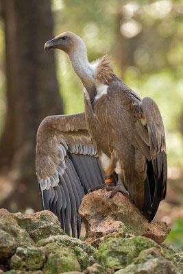 Gänsegeier (Gyps fulvus) - Griffon Vulture - 3