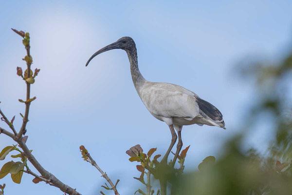 Molukkenibis (Threskiornis molucca) - Australian white ibis - 2