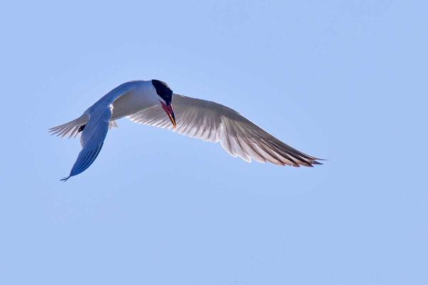 Raubseeschwalbe (Hydroprogne caspia) - Caspian tern - 5