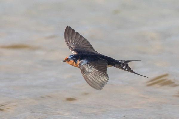 Glücksschwalbe,  Hirundo neoxena, Welcome Swallow - 4