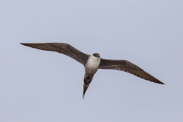Falkenraubmöwe (Stercorarius longicaudus) - 3