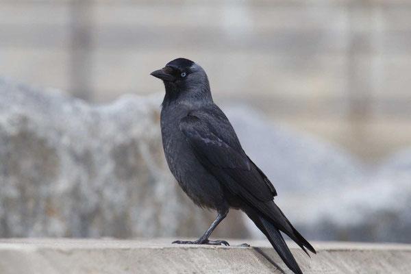 Dohle (Corvus monedula) - 4