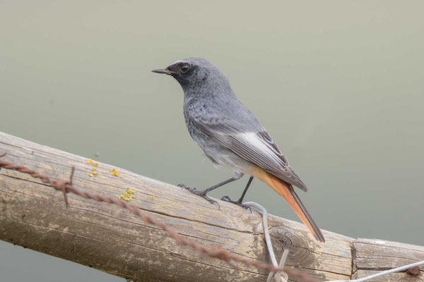 Hausrotschwanz (Phoenicurus ochruros) - Black Redstart - 2