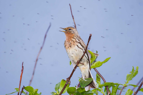 Rotkehlpieper (Anthus cervinus) - Red-throated Pipit - 7