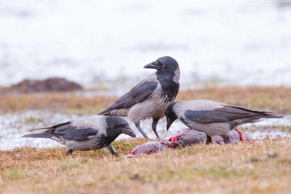 Nebelkrähe (Corvus corone) - 6