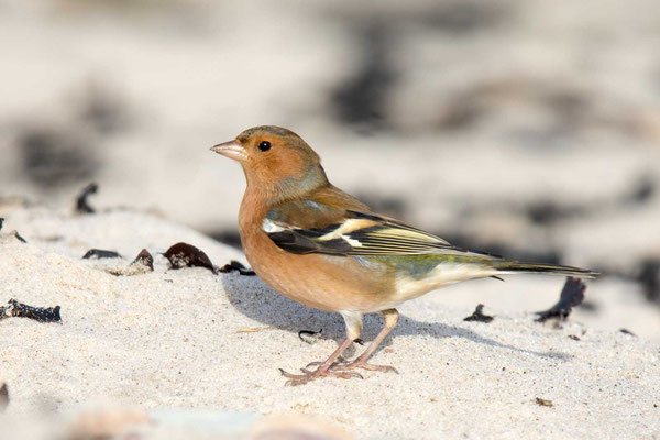 Buchfink (Fringilla coelebs) - Common chaffinch -8