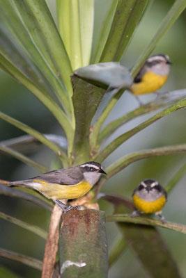 Zuckervogel (Coereba flaveola) - Bananaquit - 5