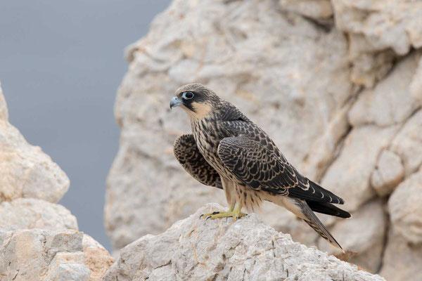 Eleonorenfalke (Falco eleonorae) - Eleonora's falcon - 10