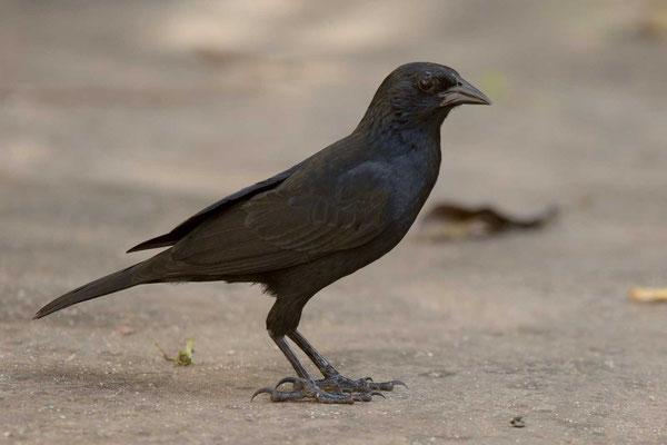 Chopistärling (Gnorimopsar chopi) - Chopi Blackbird - 1