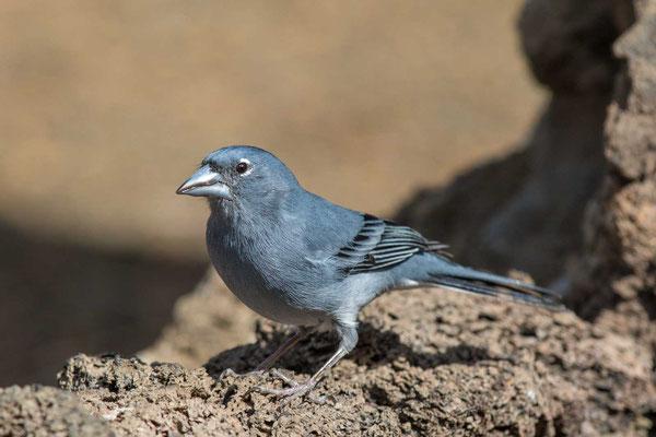 Teydefink (Fringilla teydea) - Blue Chaffinch - 1