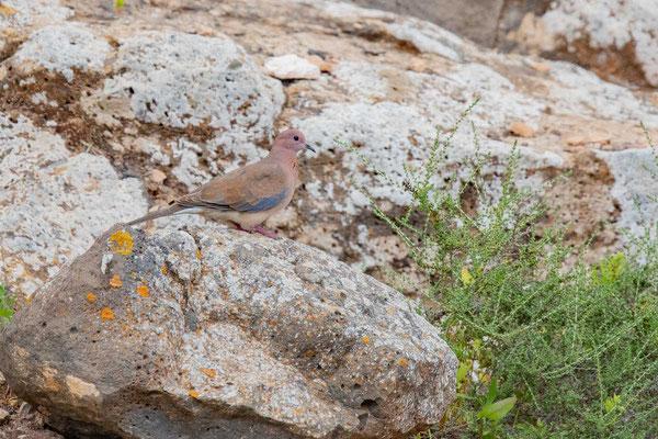 Palmtaube (Spilopelia senegalensis) auf der kanarischen Insel Fuerteventura.