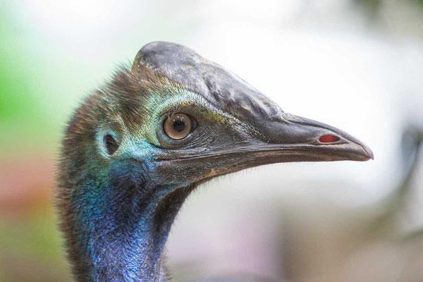 Helmkasuar (Casuarius casuarius) - Southern cassowary - 1