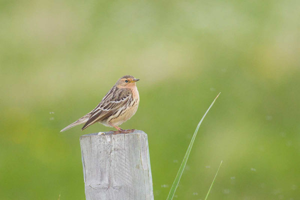 Rotkehlpieper (Anthus cervinus) - Red-throated Pipit - 5
