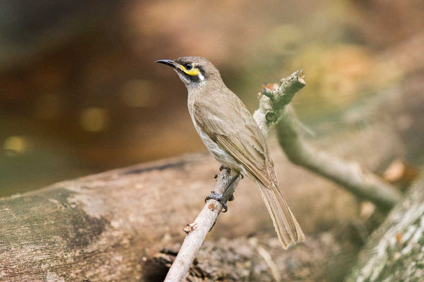 Dreistreifen-Honigfresser, Yellow-faced Honeyeater, Caligavis chrysops - 2