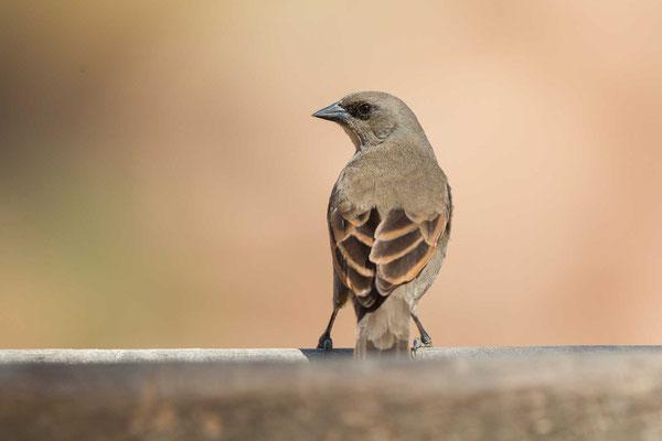 Graukuhstärling (Agelaioides badius) - Greyish Baywing - 5