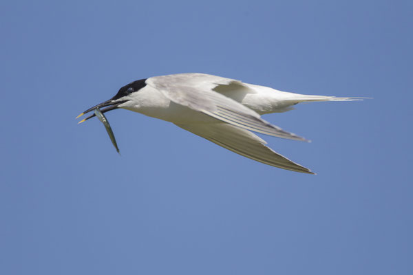Brandseeschwalbe (Thalasseus sandvicensis) - Sandwich Tern - 5