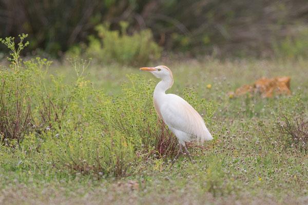Kuhreiher (Bubulcus ibis) - 2