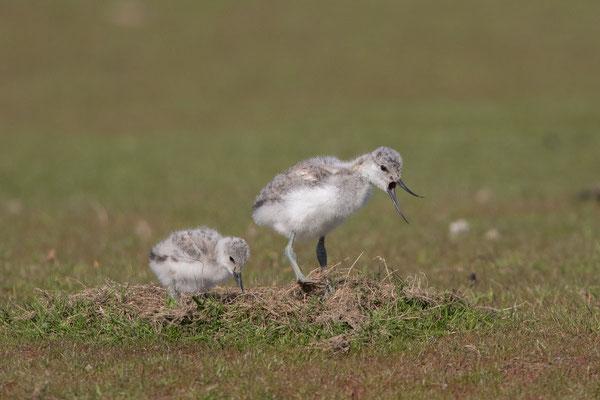 Säbelschnäbler (Recurvirostra avosetta) - 13