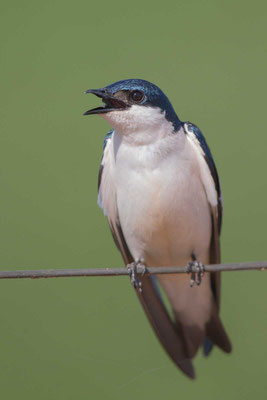 Cayenneschwalbe, Tachycineta albiventer, White-winged Swallow - 5