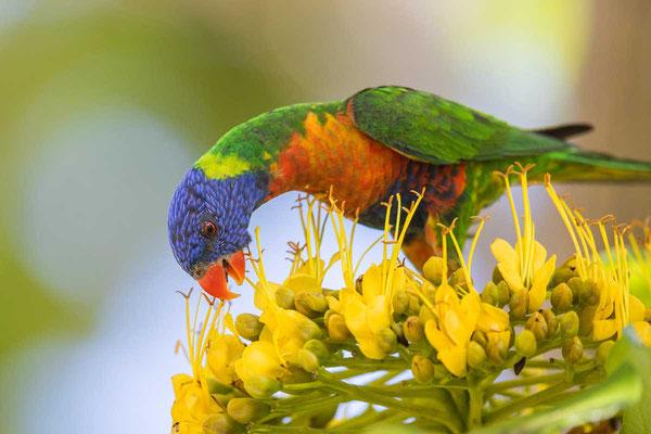 Regenbogenlori, Rainbow lorikeet, Trichoglossus haematodus - 3