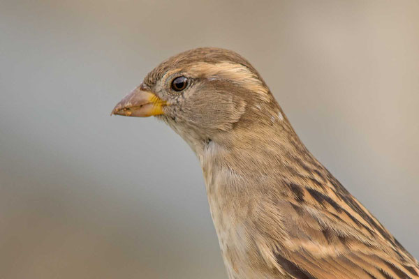 Haussperling (Passer domesticus) – House sparrow - 3