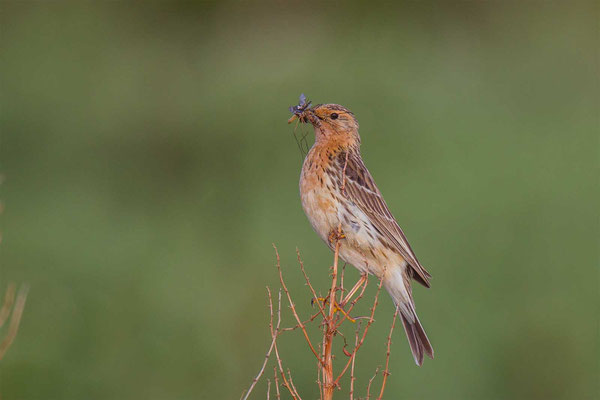 Rotkehlpieper (Anthus cervinus) - Red-throated Pipit - 9