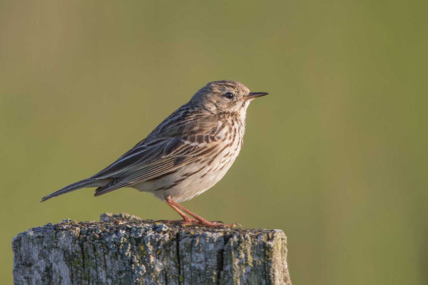 Wiesenpieper (Anthus pratensis) - Meadow Pipit - 2