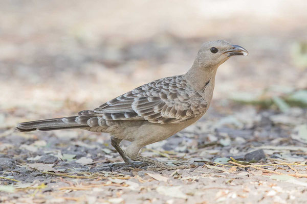 Graulaubenvogel ( Chlamydera nuchalis) - 3