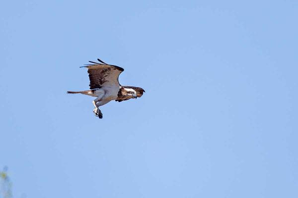 Australischer Fischadler, Eastern Osprey, Pandion cristatus - 4