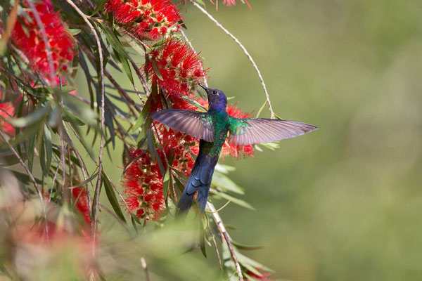 Blauer Gabelschwanzkolibri (Eupetomena macroura); Swallow-tailed Hummingbird - 2