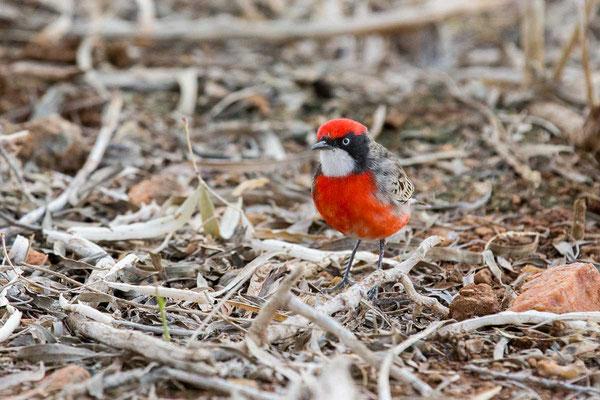 Scharlachtrugschmätzer, Crimson chat, Epthianura tricolor - 4