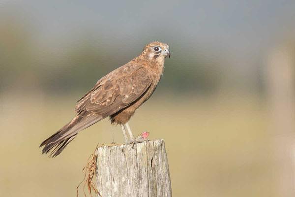 Habichtfalke, Brown falcon, Falco berigora - 1