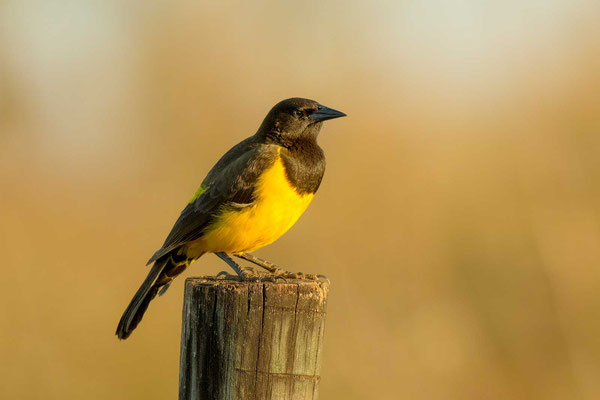 Gelbbürzelstärling (Pseudoleistes guirahuro) - Yellow-rumped Marshbird - 4