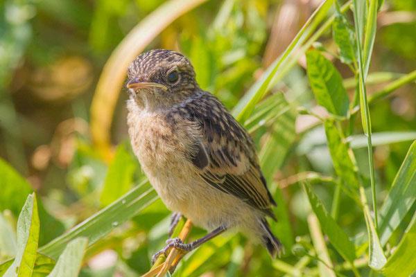 Schwarzkehlchen (Saxicola rubicola) Jungvogel - Stonechat - 2