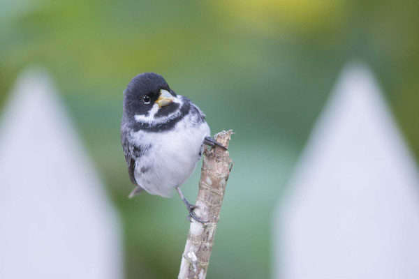 Schmuckpfäffchen (Sporophila caerulescens) - Double-collared Seedeater - 3