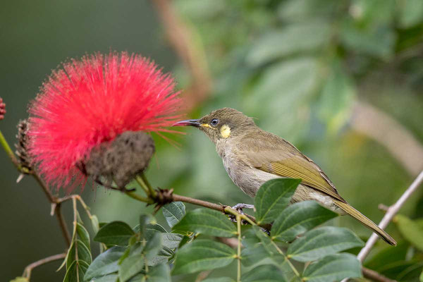 Torreshonigfresser, Yellow-spotted Honeyeater, Meliphaga notata - 3